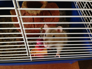 Mario the rat - he's cute as long as he's in the cage!