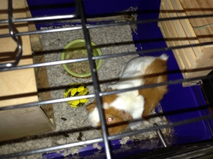 Cookie in half of her cage. Note: I had just put her in there after cleaning it and putting down new bedding. She had already dirtied it!