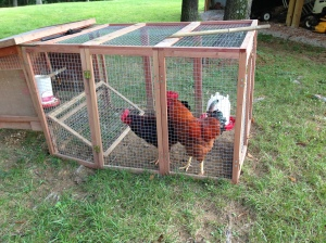 Two of the roosters from the first batch that Maggie didn't kill. And, they are mean.