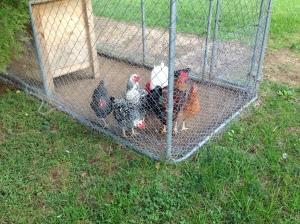 Five laying chickens and one rooster from the second batch
