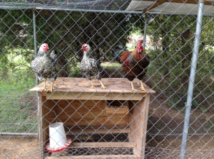 They fly on top of the coop